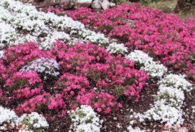 お庭一面に広がる様々な芝桜②