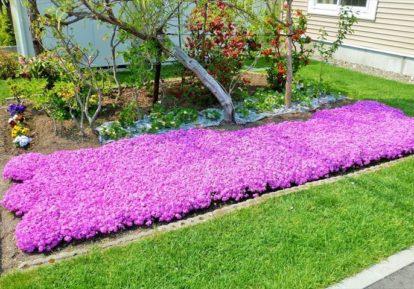 【北海道 F様】絨毯のように広がる芝桜