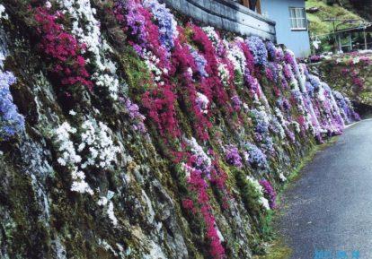 【和歌山県 N様】石垣を見事に彩る芝桜