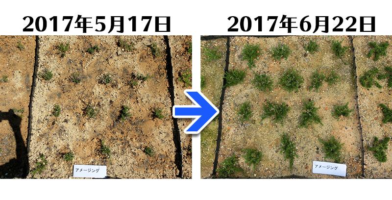 アメージンググレース植栽一ヶ月後