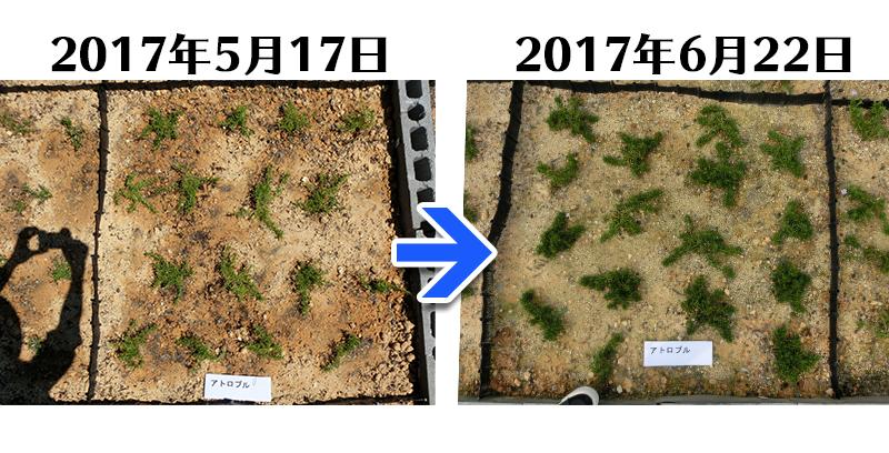 アトロプルプレア植栽一ヶ月後