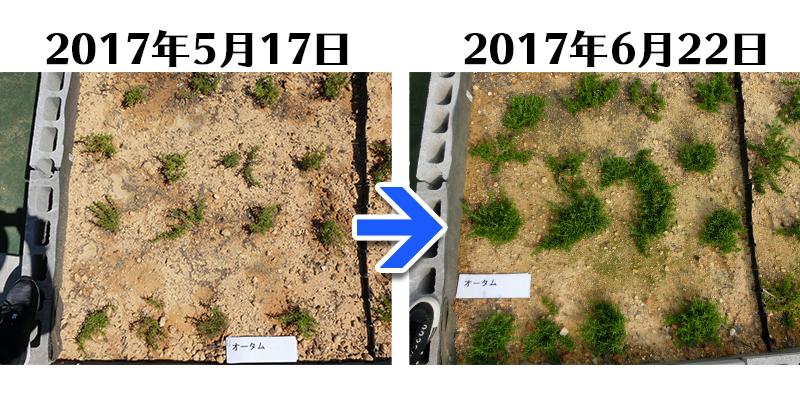 オータムローズ植栽一ヶ月後