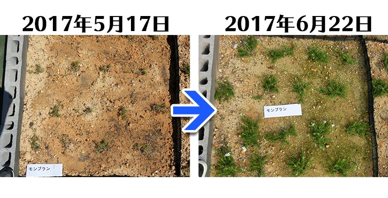 モンブラン植栽一ヶ月後