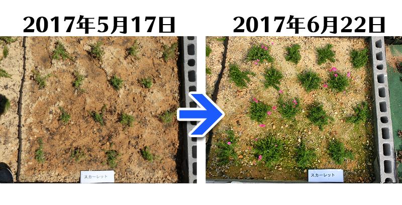 スカーレットフレーム植栽一ヶ月後
