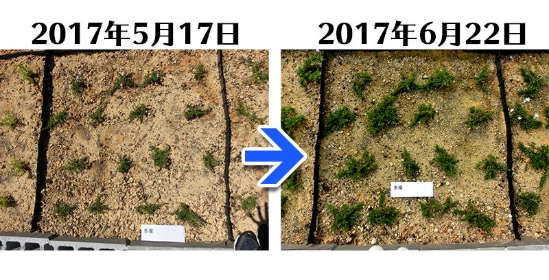 多摩の流れ植栽一ヶ月後