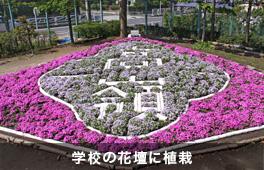 芝桜植栽事例(学校)①