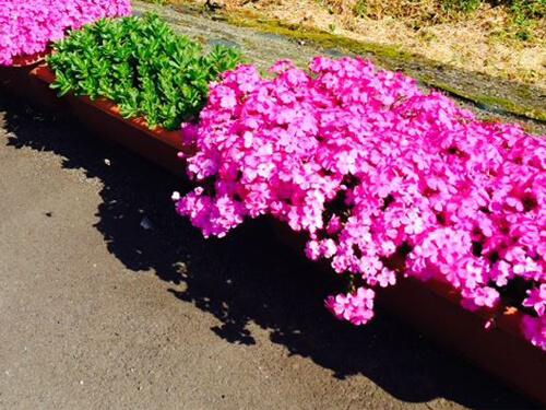 方 育て 芝 桜 芝桜のための冬の手入れ・育て方のコツ!冬に枯れるのを防いで冬越し
