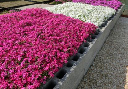 【福井県 花壇】芝桜マット苗はボリューム満点!