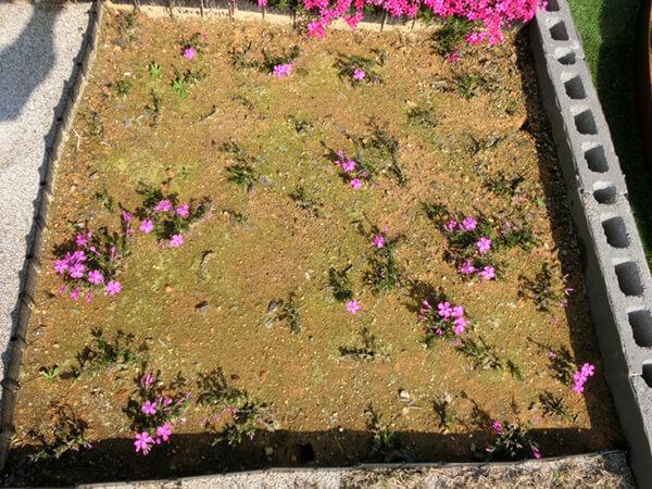 春に挿し芽開花!