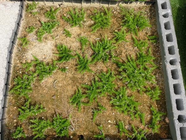 植え付け後9か月経過した挿し芽の様子