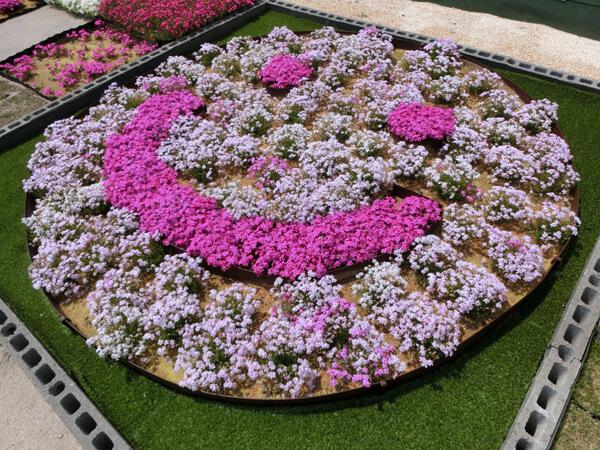 白の中にピンクの芝桜
