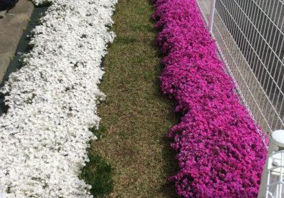 【神奈川県 T様】お庭に可愛い芝桜の小道
