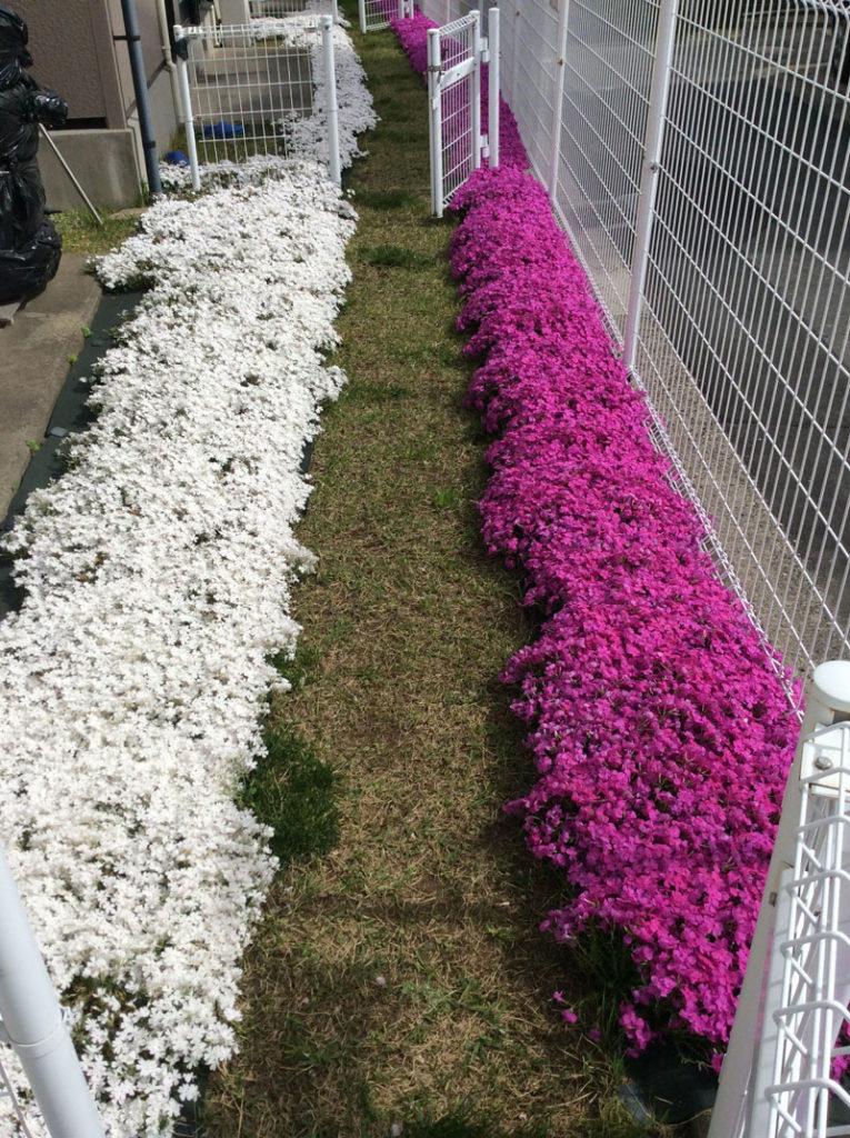 お庭の芝桜植栽事例